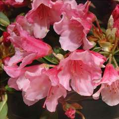 Rhododendron nain 'Wee Bee' : C4L