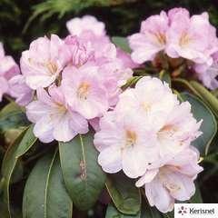 Rhododendron nain 'Shrub Lavender':pot 4L