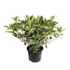 Rhododendron X Anastasia : C.15L