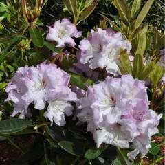 Rhododendron 'Keriza' : C15L