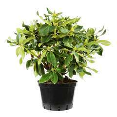 Rhododendron X Kervescar : C.15L