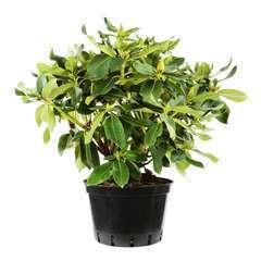 Rhododendron x 'Matador Exbury':conteneur 15L