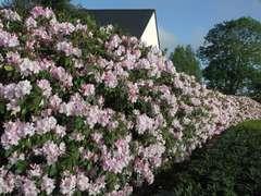 Rhododendron X Mrs C. Pearson : C.15L
