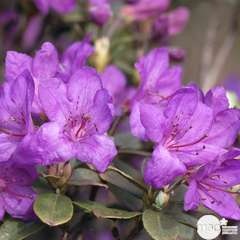 Rhododendron x 'Tamarindos' : 15L (violet à coeur blanc)