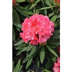 Rhododendron x 'Annae':conteneur 15L