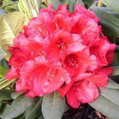 Rhododendron x 'Leo':conteneur 15L
