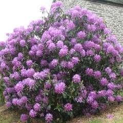 Rhododendron ponticum, H 30/40 cm : 25 litres