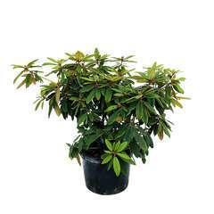 Rhododendron X Adrien Le Fur : C.25L