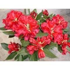 Rhododendron x 'Lem 's Monarch':conteneur 25L
