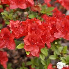 Rhododendron x 'Melville' :25 litres (rouge très soutenu)