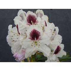 Rhododendron x 'Sappho': 25  litres (blanc à macule brune)