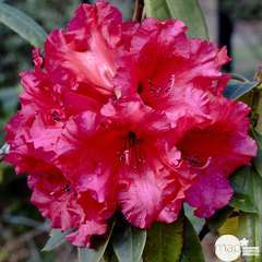 Rhododendron x 'Taurus': 25 litres (fleurs rouges)