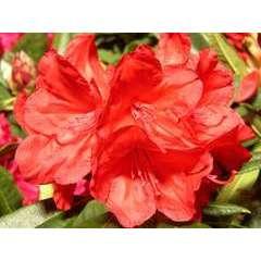 Rhododendron x 'Vulcan': 25L (rouge feu lumineux)
