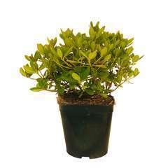 Rhododendron X Adrien Le Fur : C.4L