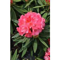 Rhododendron x 'Annae':conteneur 4L