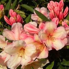 Rhododendron x 'Azimut':conteneur 4L