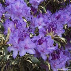 Rhododendron Carolina Spring : C.4L