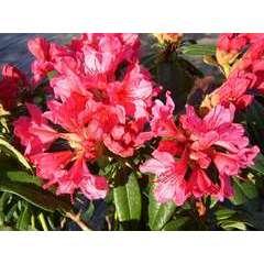 Rhododendron x 'Carry Ann':conteneur 4L