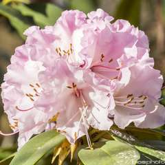 Rhododendron x 'Christmas Cheer':conteneur 4L