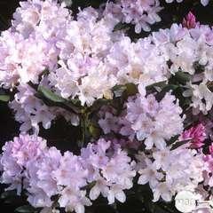 Rhododendron x 'Daniel Gelin' : 4  litres (violine)