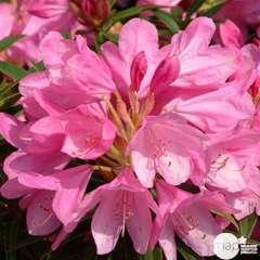 Rhododendron x 'Graziella': 4 L (rose mauve)