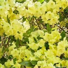Rhododendron x 'Haida Gold':conteneur 4L