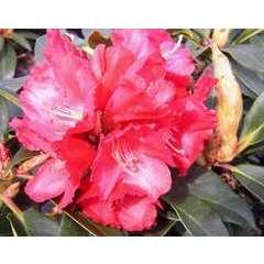 Rhododendron x 'Halfdan Lem':conteneur 4L