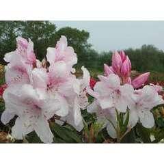 Rhododendron x 'Halopeanum':conteneur 4L