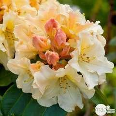 Rhododendron x 'Horizon Monarch' : 4 litres (jaune pâle)