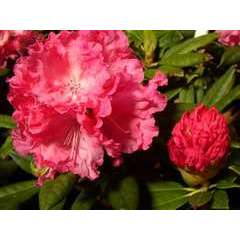 Rhododendron x 'Hydon Hunter':conteneur 4L
