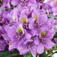 Rhododendron hybride ' Marcel Ménard ': 4 L (violet pourpre)