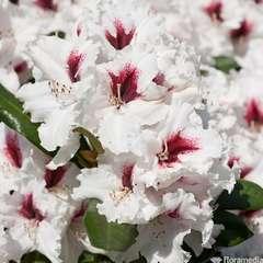 Rhododendron X Picobello : C.4L
