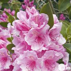 Rhododendron x 'Pink Pearl' :4 litres (rose lilas)