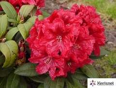 Rhododendron X Rabatz : C.4L