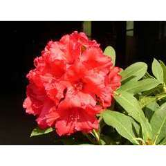 Rhododendron x 'Red Jack' : 4 litres (rouge)