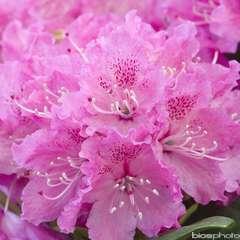 Rhododendron x 'Rocket':conteneur 4L