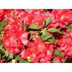 Rhododendron x 'Jean Marie de Montaigue': C4L