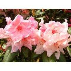 Rhododendron x 'Virginie Richards': C4L