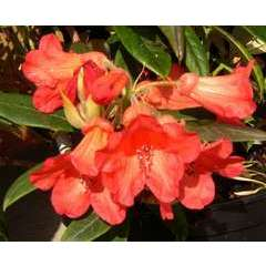 Rhododendron x 'Fabia':conteneur 4L
