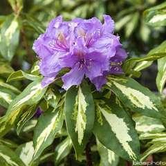 Rhododendron x 'Blattgold':conteneur 4L