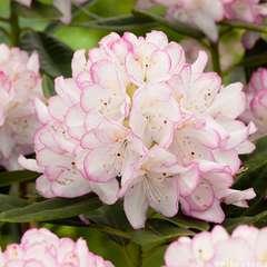 Rhododendron X Picotee : C.4L