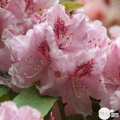 Rhododendron x 'Docteur Schweitzer' : 7.5L (rose clair macule rouge)