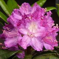 Rhododendron x 'Alfred': 7.5 litres (lillas brillant)