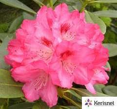 Rhododendron X Atchoum : C.7,5L