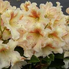 Rhododendron X Bernstein : C.7,5L