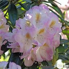 Rhododendron x 'Brigitte' : 7.5 litres (rose clair)