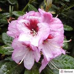 Rhododendron X Cassata : C.7,5L.