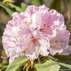 Rhododendron x 'Christmas Cheer':conteneur 7.5L