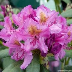 Rhododendron Delta : C.7,5L