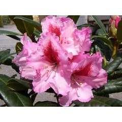 Rhododendron x 'Diadem':conteneur 7.5L